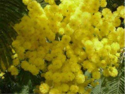Mimosa journée de la femme, AURORAWEBLOG
